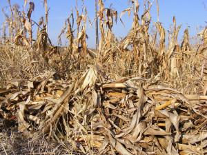 dry-corn